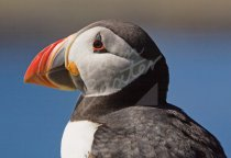 Atlantic Puffin Postcard (H Std CB)