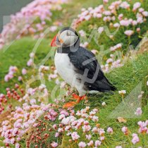 Atlantic Puffin with Sea Pinks ( Greetings Card (CB)