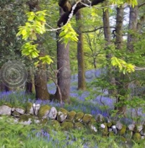 Bluebell Oaks Colour Art Greetings Card (LY)