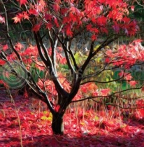 Red Acer Colour Art Greetings Card