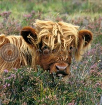 Highland Calf in Heather Colour Photo Greetings Card (LY)