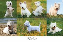 Westies Composite Postcard (HA6)