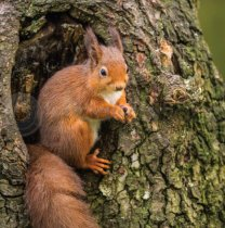 Red Squirrel Colour Photo Greetings Card (LY)
