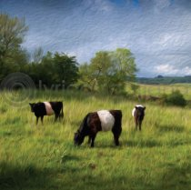 Belties Colour Art Greetings Card (LY)