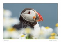 Atlantic Puffin Print