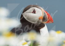 Atlantic Puffin 1 Magnet (H CB)