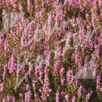 Scottish Heather Greetings Card (CB)