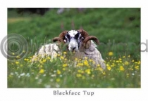 Blackface Tup, Wildflowers Postcard (HA6)