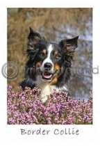 Border Collie Postcard (VA6)