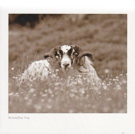 Blackface Tup In Meadow (Sepia)