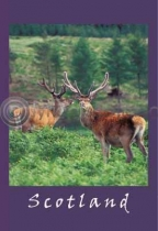 Red Deer Stags Postcard (VA6C)