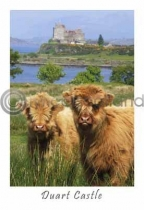 Two Calves at Duart Castle (VA6)