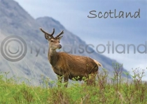 Scotland - Red Deer Stag Magnet (H)