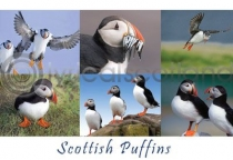 Scottish Puffins Composite (HA6)