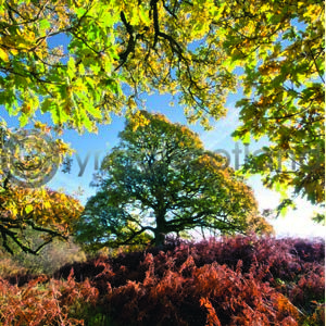 Three Oaks (Colour) (Apr)